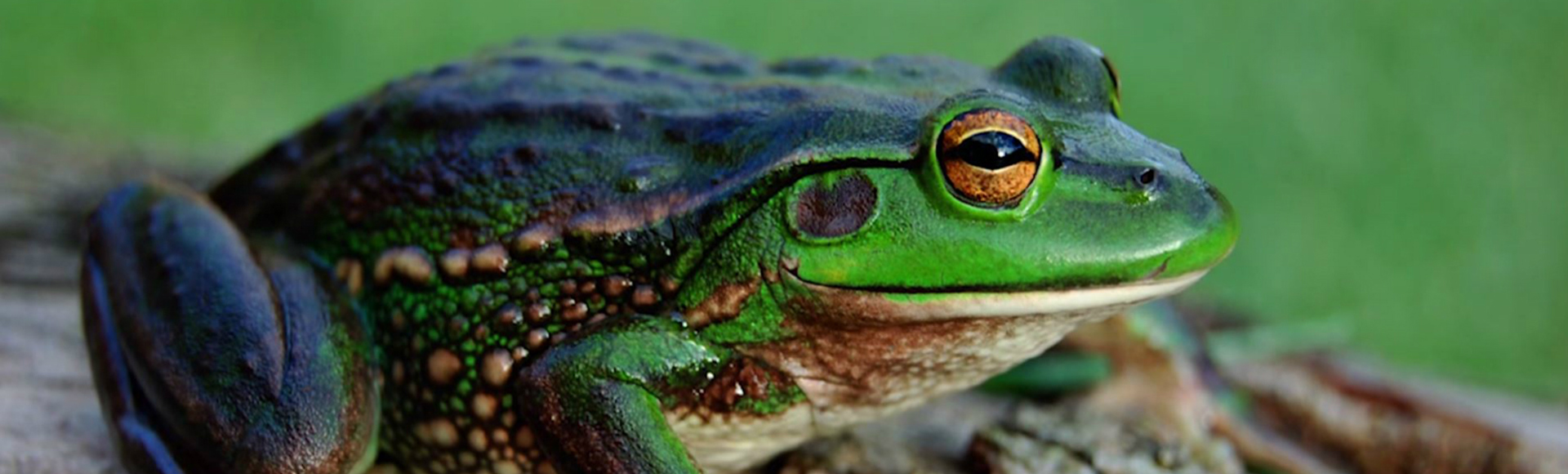 residential growling grass frog 1920x580